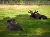 Hirvi (Alces alces) - Eurasian elk