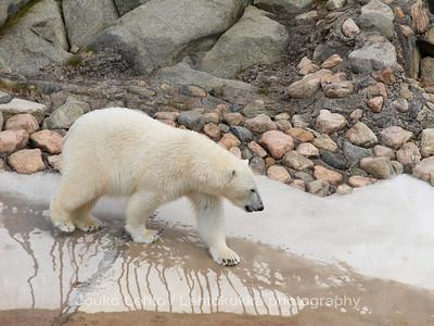 Icebear,