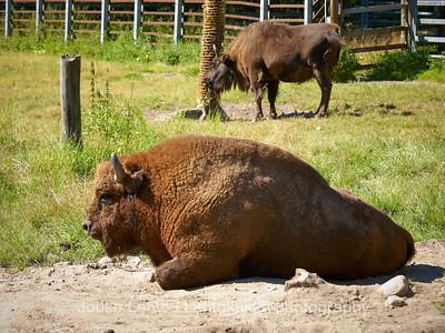 Visentti (Bison bonasus) - Wisent