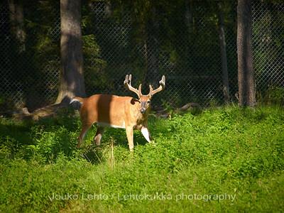 Valkohäntäpeura (Odocoileus virginianus) - White-tailed deer