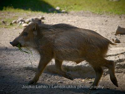 Villisika (Sus scrofa) - Wild boar