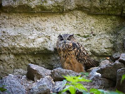 Huuhkaja (Bubo bubo) - Eurasian Eagle-owl