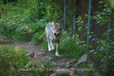 Susi (Canis lupus) - Wolf