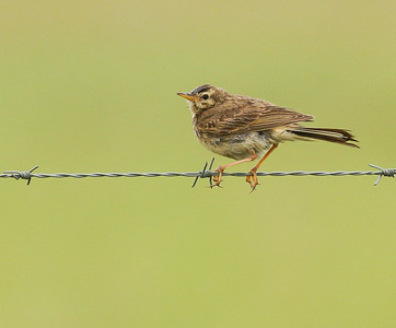 African Pipit (Wakkerstroom 2012)