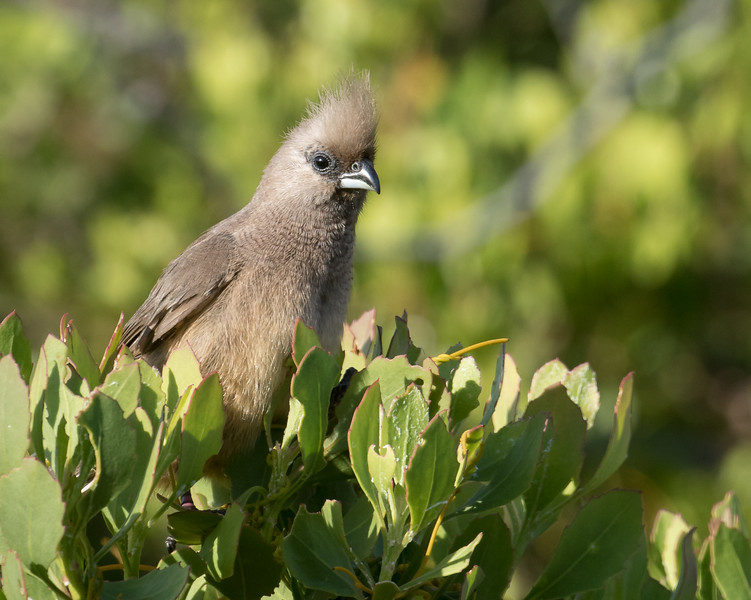 Speckled Mousebird (Hermanus 2017)