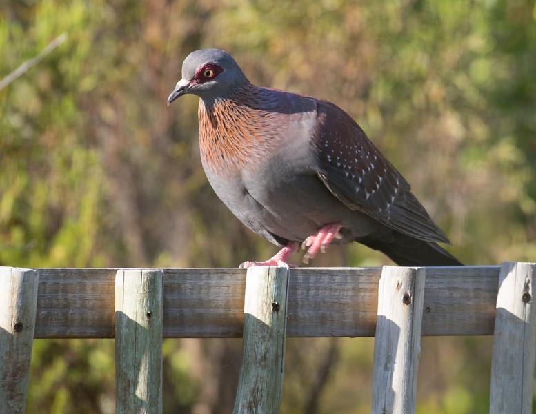 Speckled Pigeon  (Hermanus 2017)