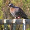 Speckled Pigeon  (Hermanus 2017)