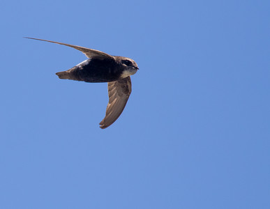 Little Swift (Hermanus 2017)