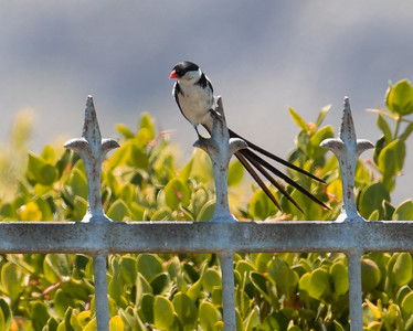 Pin-tailed Whydah (Hermanus 2017)