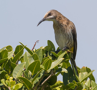 Cape Sugarbird (Hermanus 2017)