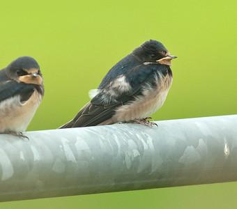 Barn Swallow - Boerenzwaluw
