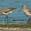 Bar-tailed Godwit - Rosse Grutto
