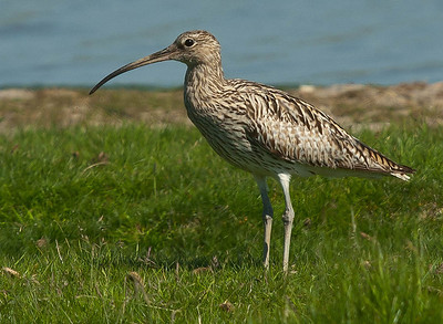Curlew - Wulp