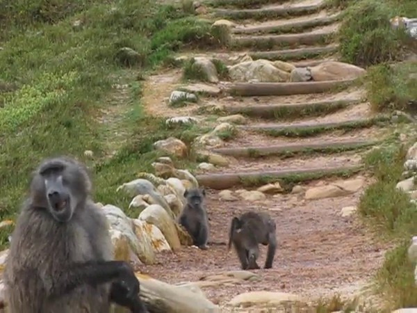 Chacma baboons at Cape Point.
