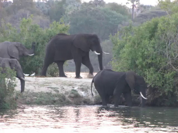 Elephants crossing the Zambezi River during our sunset river cruise.