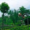 Willow trees in Kaifu Temple