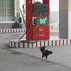 Rooster in charge of gasoline station