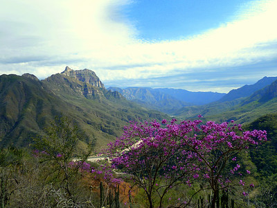 Jacarandas on the canyon.