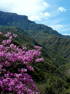 Jacaranda trees on both sides of the canyon.