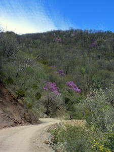 Jacarandas on the hillside.