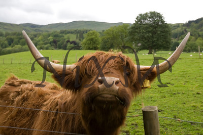 Heather, the hairy coo
