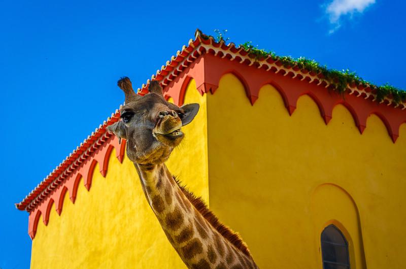 Original Smiling Giraffe Photography By Messagez com