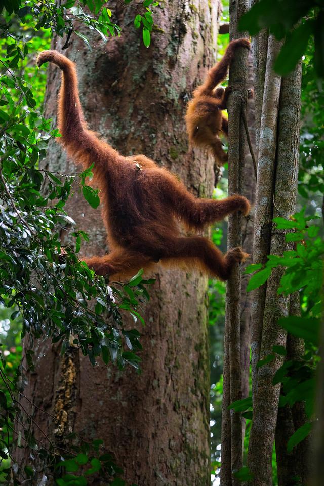Orangutans in Gunung Leuser National Park, Sumatra. 2017