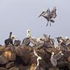 Pelicans of Moss Landing, CA