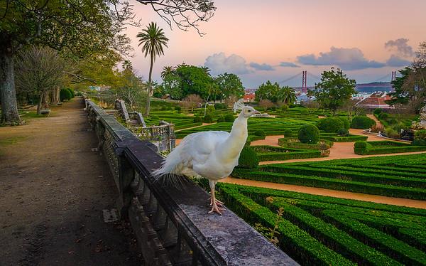 Original White Peacock in Lisbon Fine Art Photography By Messagez com
