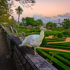 Original White Peacock in Lisbon Fine Art Photography By Messagez com