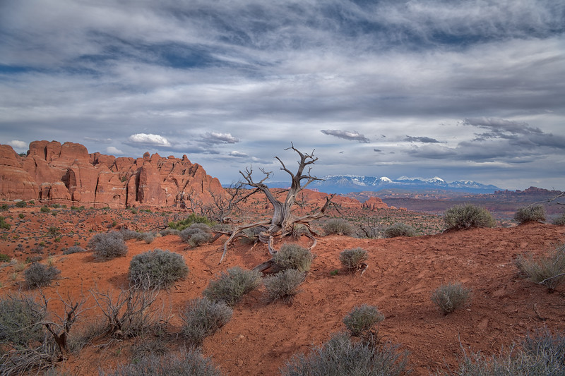 View of twisted jumiper tree and La Sal Mountains at Arches National Park near Moab, Utah
