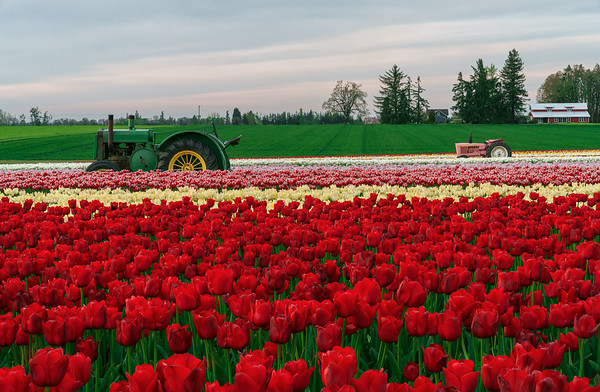Wooden Shoe Tulip Festival - Oregon