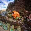 Orange sea star on the beach at Bandon Beach, Oregon