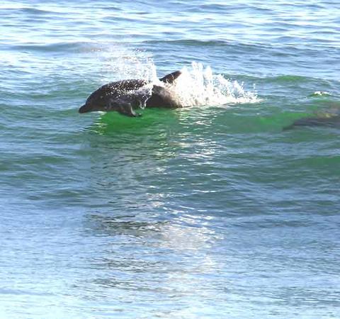 Dolphin Surfing Carpinteria