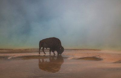 Thirsty Bison - Grand Prismatic Spring, Yellowstone National Park
