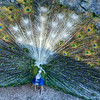 Peacock Image By Messagez.com