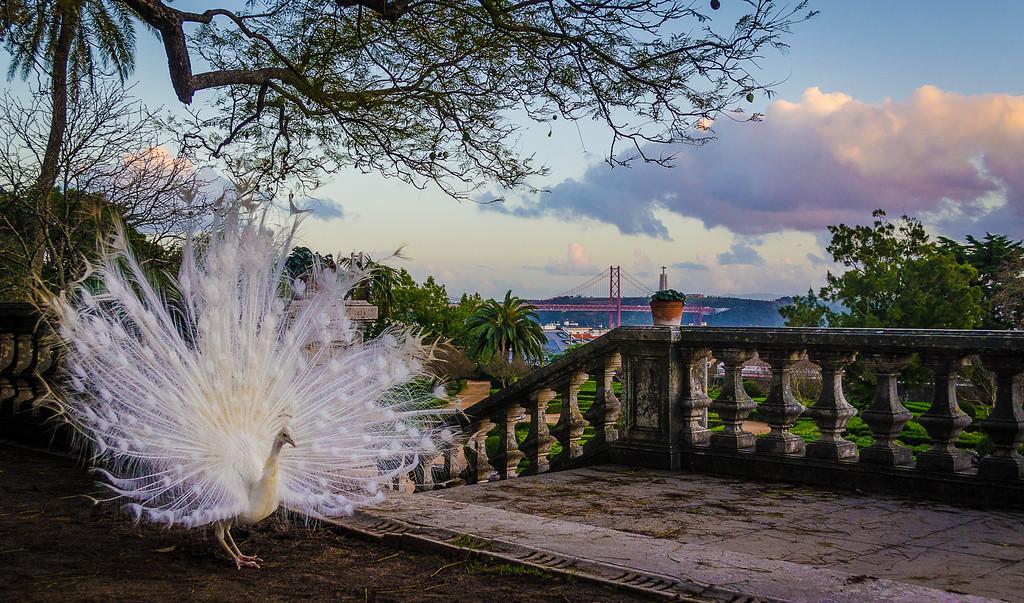 The Original White Peacock Bride Art Photography 2 By Messagez com
