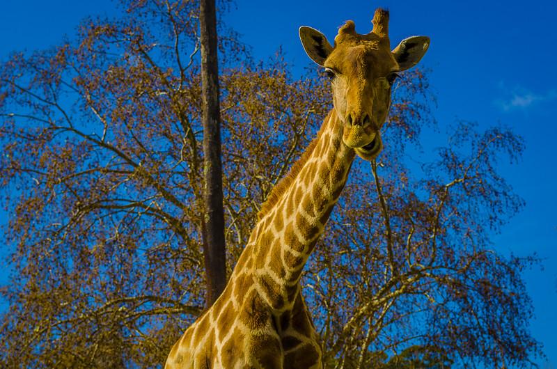 Best of Giraffe Art Photography 6 By Messagez com