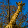 Best of Giraffe Art Photography 6 By Messagez com
