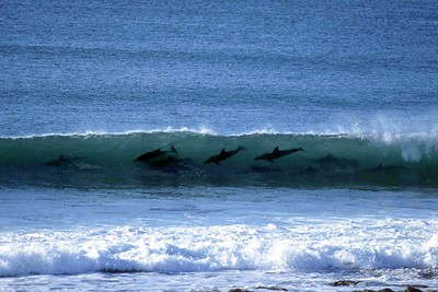 Surfing Dolphins Jeffreys Bay South Africa 2001