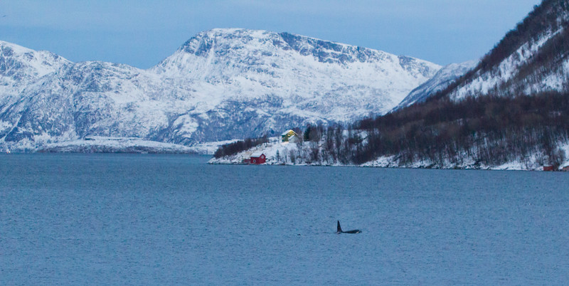 Orca on Kaldfjord