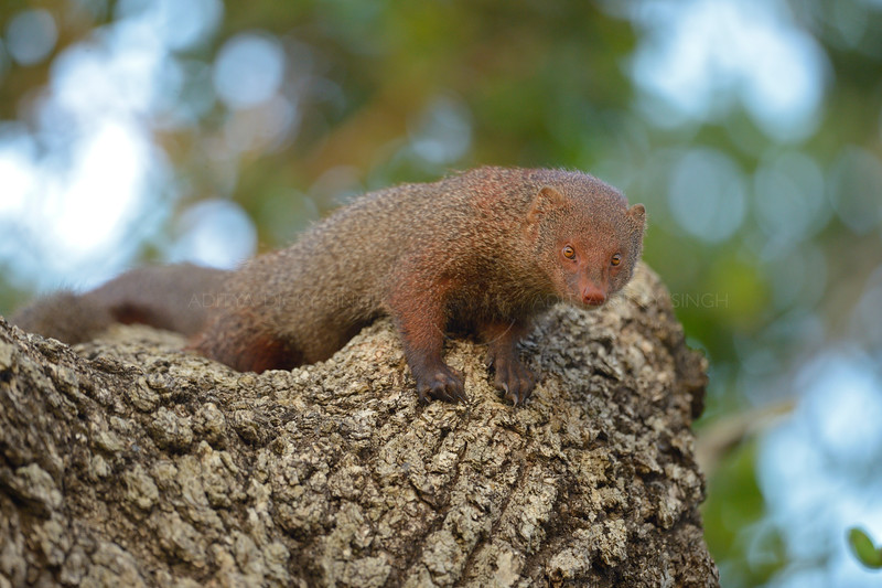 Ruddy mongoose on a tree