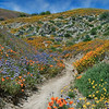 Trail through the wildflower and poppy covered hillside near Lancaster, California