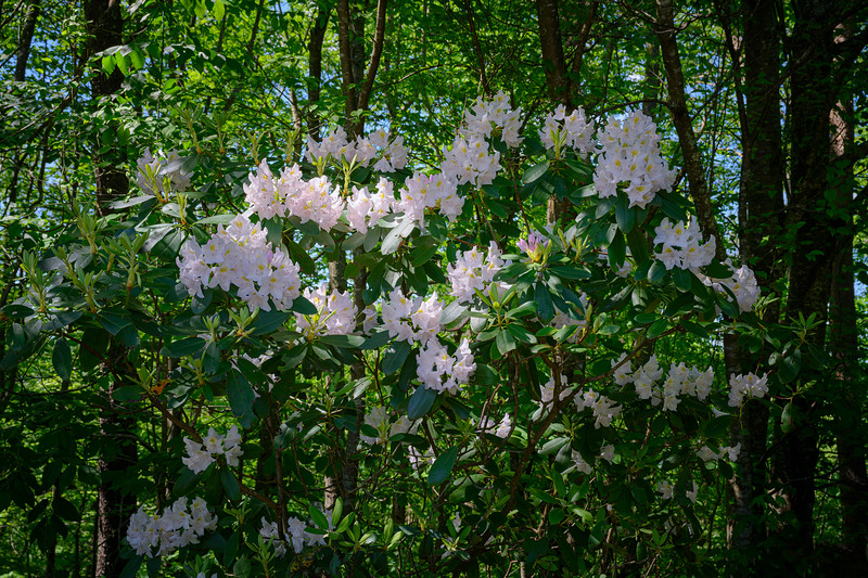 Rhododendrons in bloom in Spring in the New River Gorge National River area of West Virginia