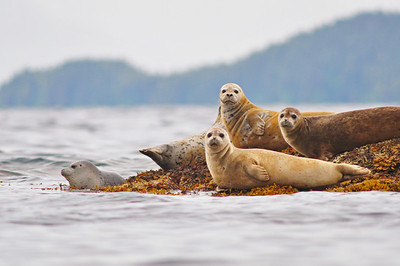 A group of Seals rest on exposed reef in the Prince William Sound, Alaska