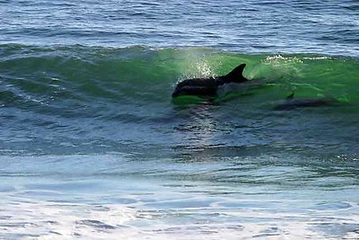 Surfing Dolphins Rincon