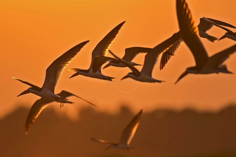 Black skimmers flying at sunset