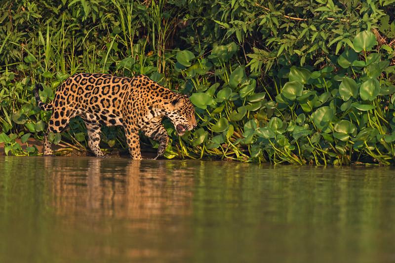 Jaguar on a river bank