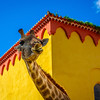 Original Smiling Giraffe Photography By Messagez com