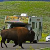 Wild bison in the Yellowstone national park during summers